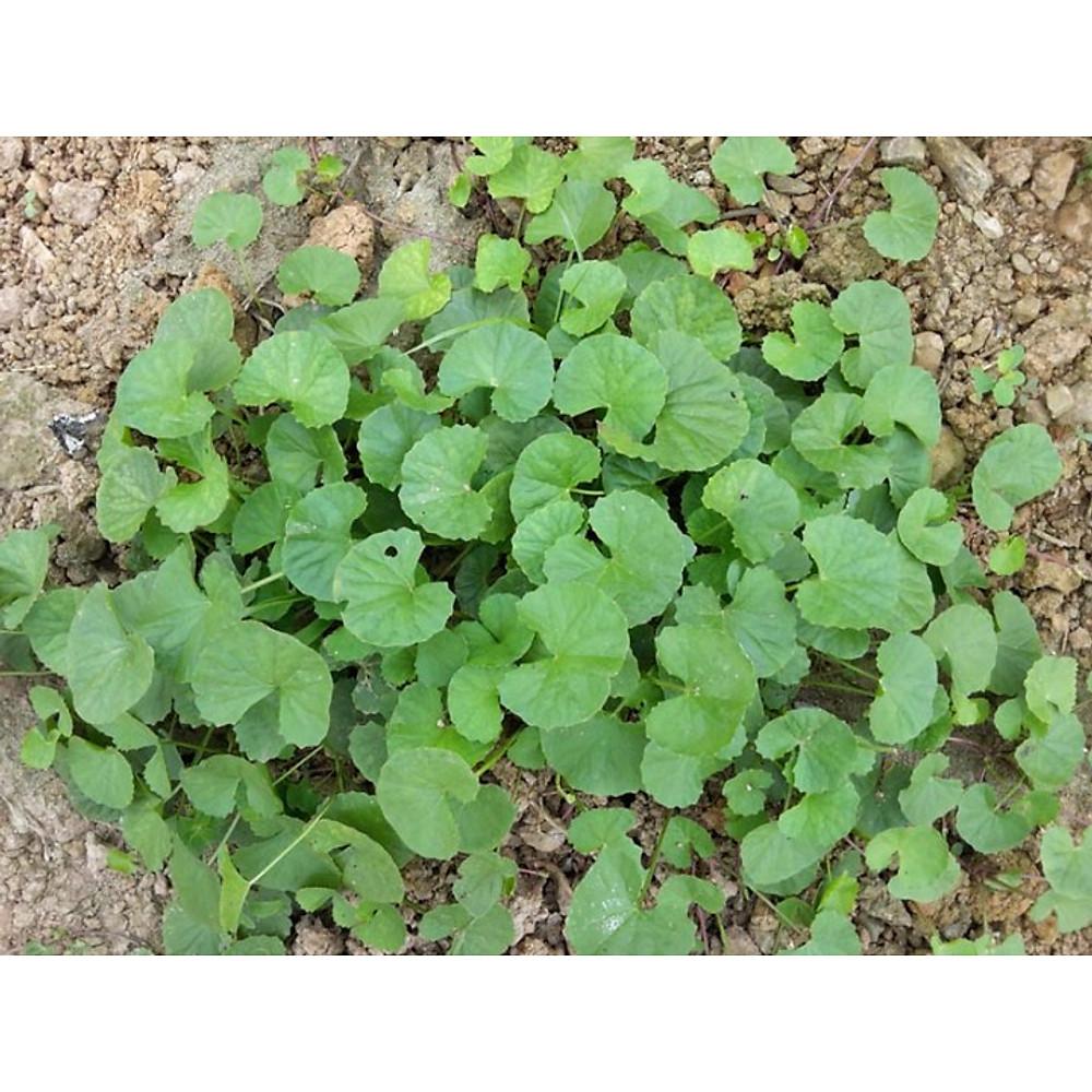 Đánh giá 200 hạt giống rau má lá nhỏ